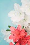 Groupe blanc et de corail de fleur d'azalée Photo stock