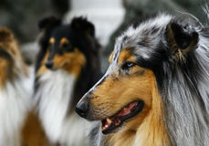 Groupe of collies Stock Image