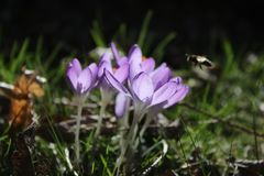 Group of crocusses in spring. Groupe of crocusses in spring in the garden Stock Image