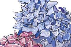 Groupe croquis de vecteur d'abrégé sur d'ensemble de fleur tirée par la main d'hortensia ou de Hortensia dans le bleu rose en pas illustration stock