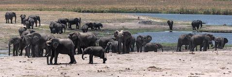 Groupe d'éléphant sur l'avant de rivière de Chobe en parc national de Chobe photographie stock libre de droits
