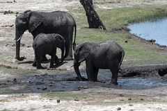 Groupe d'éléphant sur l'avant de rivière de Chobe en parc national de Chobe images stock