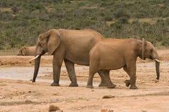 Groupe d'éléphants images stock