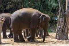 Groupe d'éléphants dans le safari Photographie stock libre de droits