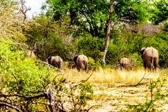 Groupe d'éléphants disparaissant dans la forêt ensuite ayant été chez Olifantdrinkgat, un abreuvoir en parc national de Kruger photos stock
