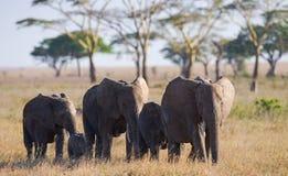 Groupe d'éléphants marchant sur la savane l'afrique kenya tanzania serengeti Maasai Mara Image stock