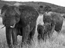Groupe d'éléphants marchant sur la savane l'afrique kenya tanzania serengeti Maasai Mara Photo libre de droits