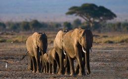 Groupe d'éléphants marchant sur la savane l'afrique kenya tanzania serengeti Maasai Mara Photographie stock libre de droits