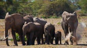 Groupe d'éléphants marchant sur la savane l'afrique kenya tanzania serengeti Maasai Mara Images stock