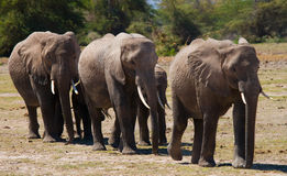 Groupe d'éléphants marchant sur la savane l'afrique kenya tanzania serengeti Maasai Mara Photos stock