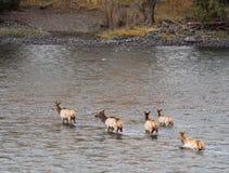 Groupe d'élans pataugeant en rivière image libre de droits