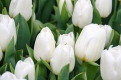 Groupe d'élevage blanc de tulipes Photographie stock libre de droits