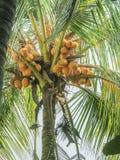 GROUPE D'ÉLEVAGE DE FRUITS DE NOIX DE COCO SUR L'ARBRE Images libres de droits