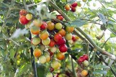 Groupe d'élevage de tomates-cerises Image libre de droits