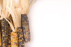 Groupe d'épi de maïs multicolore sec organique prêt à sauter le maïs éclaté ou la poussière abrasive photos libres de droits