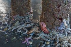 Groupe d'étoiles de mer autour des empilages Photo libre de droits