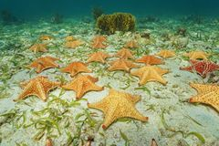 Groupe d'étoiles de mer sous-marines sur le fond océanique Photographie stock