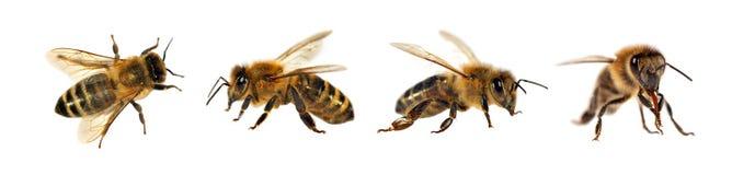 Groupe d'abeille ou d'abeille sur le fond blanc, abeilles de miel image stock