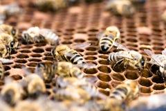 Groupe d'abeilles Images libres de droits