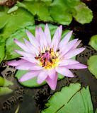 Groupe d'abeilles sur une nuance pourpre de fleur de lotus blanc photos libres de droits