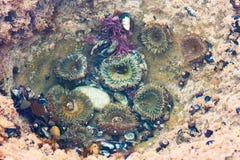 Groupe d'actinie colorée, d'escargot noir de turban et d'espèce marine de muscles Photo libre de droits