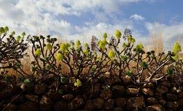 Groupe d'aeonium en fleur, Îles Canaries Photo libre de droits