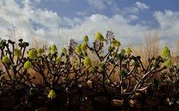 Groupe d'aeonium en fleur, Îles Canaries Images stock
