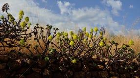 Groupe d'aeonium en fleur, Îles Canaries Photos libres de droits