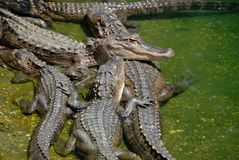 Groupe d'alligators Photo libre de droits