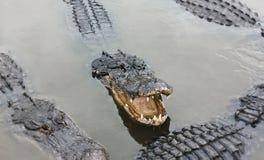 Groupe d'alligators Photographie stock libre de droits
