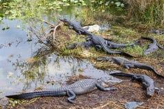 Groupe d'alligators américains Image libre de droits