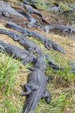 Groupe d'alligators américains Image stock