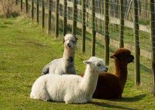 Groupe d'alpaga par la barrière dans un mensonge de repos de champ vers le bas brun et blanc Photo stock