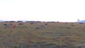 Groupe d'animaux herbivores dans la savane chez l'Afrique clips vidéos