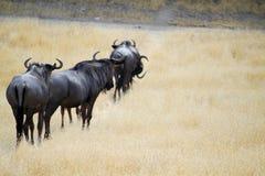 Groupe d'antilopes de Gnu photo libre de droits