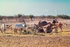 Groupe d'antilopes et de moutons de montagne en parc de safari sur l'île de Sir Bani Yas, Emirats Arabes Unis photos libres de droits