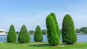 Groupe d'arbre de ficus sur la pelouse lisse d'herbe verte près d'un ciel bleu clair d'unde de lac en parc photos libres de droits