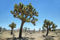 Groupe d'arbres de Joshua en Joshua Tree National Park Photo stock