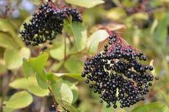 Groupe d'automne de fruit mûr de baie de sureau Photographie stock libre de droits