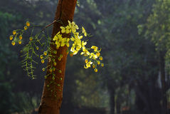 Groupe d'or de fleur de douche sur le tronc Photo stock