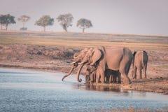 Groupe d'eau potable d'éléphants africains de rivière de Chobe au coucher du soleil Le safari et le bateau de faune croisent en p Images libres de droits