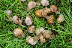 Groupe d'escargots sur l'herbe Images stock