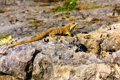 Groupe d'iguane photos stock