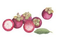groupe d'illustration de vecteur d'aquarelle de mangoustans Images stock