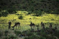Groupe d'impala en Namibie photographie stock