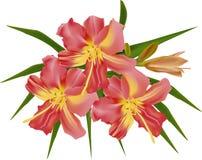 Groupe d'isolement de fleurs rouges de lis Photos stock