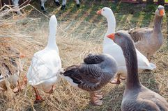 Groupe d'oies blanches et grises Image stock