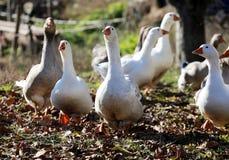Groupe d'oies domestiques blanches et grises Images libres de droits