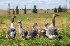 Groupe d'oies grises Photographie stock libre de droits