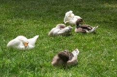 Groupe d'oies se reposant sur l'herbe Photographie stock libre de droits